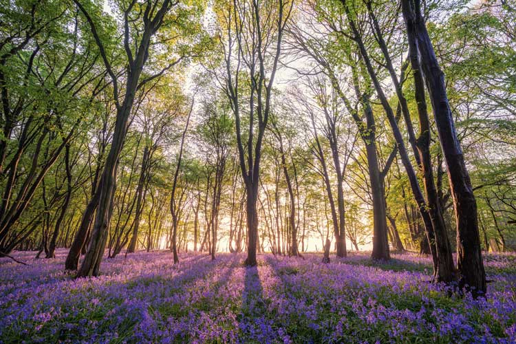 Hallerbos-The-Blue-Forest-1