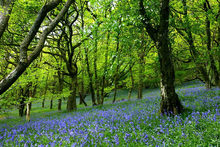 Hallerbos-The-Blue-Forest-2