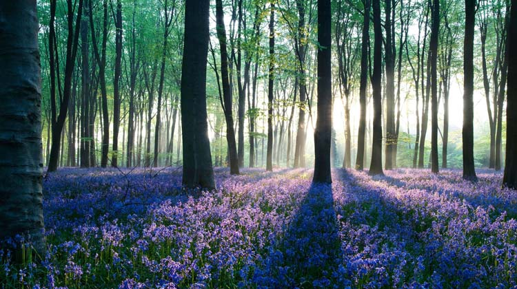 Hallerbos-The-Blue-Forest-3